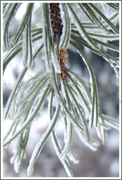 Jan. 20, 2005: Freezing rain on mugo pine.  Rained all night even though it was below freezing. As the temp dropped the rain turned to snow.