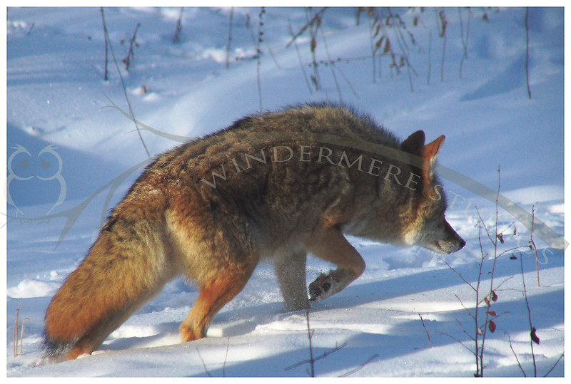 Jan. 11, 2005: Coyote. This fellow was sneaking around the house, past the feeders to the front yard. I caught him from my dining room window. I suspect he was following cat scent.