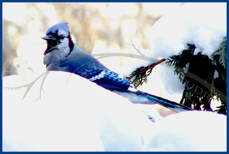 Jan. 12, 2005: Squaky Jay. A family of 5 jays rotate through the feeder. They were arguing with a magpie over right of way.