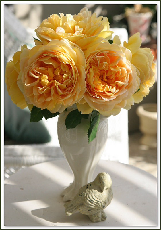 My favorite cabbage rose, Golden Celebrations by David Austin