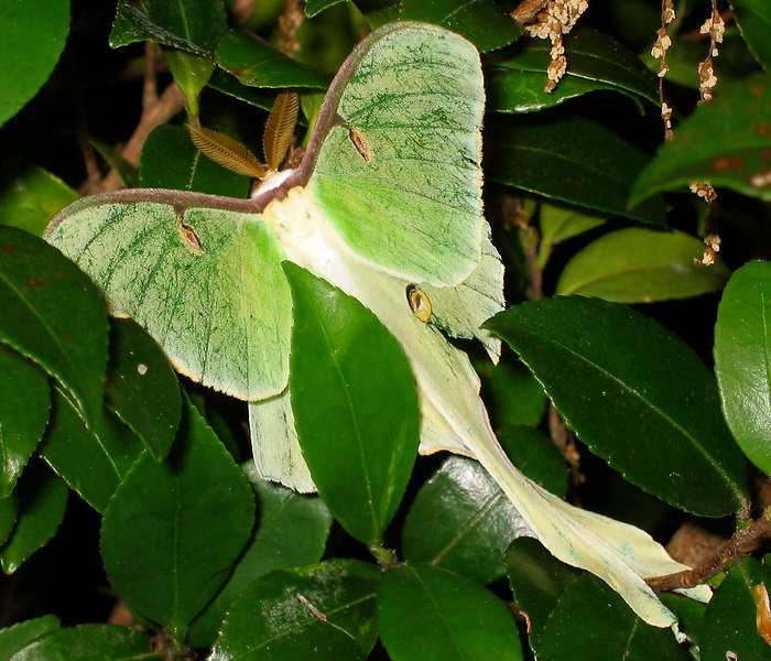 I was glad to get this shot of a (I think) lunar moth. Again, I don't expect this to be a winner - the composition is busy with leaves that somewhat distract.