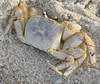 <i>Animal Behavior</i>: Dead crab on beach, Oak Island, NC. This one could possibly win - I think it is a reasonable shot of a crab playing or actually being dead.