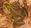 {Reptiles and Amphibians} 00aFavorite Frog(Green Frog, Rana clamitans),NtvPlnts area,DukeGardens