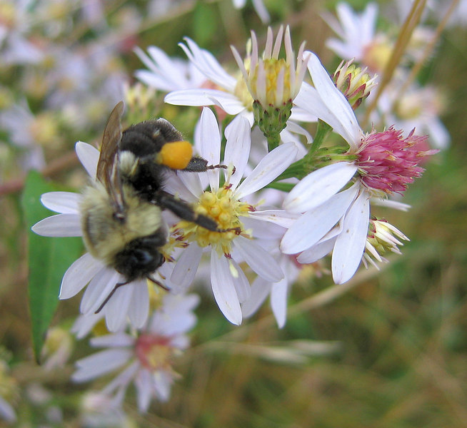<i>Animal Behavior</i>: Bee on flowers, Craggy Gardens, Blue Ridge Parkway. I took this just a few days ago, on September 10th. At thumbnail size, I think that it looks reasonably appealing, but I don't think it will win anything because, while it has nice shallow depth of field, I wish it were the bee and not the flower in sharp focus.