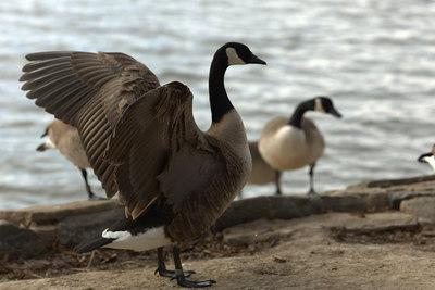 January - City Park Geese