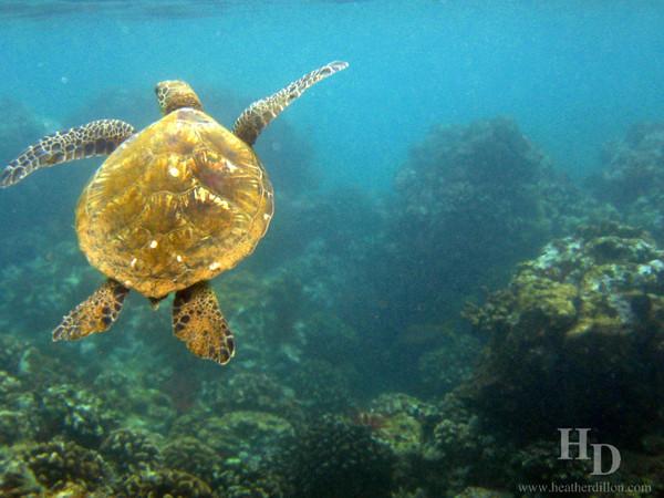 Green sea turtle (Honu). My personal favorite.