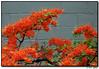 19Apr06<br /> <br /> neighbor's Azalea tree.<br /> <br /> f/5.6, 1/60s, iso 800.