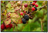 26Jun06<br /> <br /> roadside blackberries, ripe for the picking.  around the corner, there were a couple of people harvesting from a larger briar patch.<br /> <br /> f/4.5, 1/400s, iso 200.