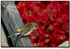 """25Nov06  finch (?) on a fence.  nicely accentuated with a japanese maple.  <br><br><font color=""""RED"""">edited, 26Nov06:</font> so it's a yellow-rumped warbler, but, somehow, warbler on wood doesn't have the same ring as finch on a fence.<br><br>  f/8, 1/400s, iso 200."""
