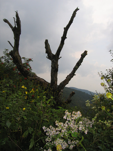 zzNotSubmitted{Peaks,Valleys&Plains} 00aFavorite Dead tree, Craggy Gardens, Blue Ridge Parkway