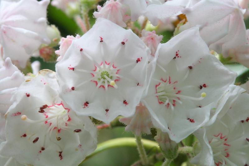 zzNotSubmitted {Wild Plants} 00aFavorite 05272007 Trio of Mountain Laurel blooms, Shut In Trail near Asheville, Blue Ridge Mntns
