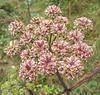 {Wild Plants} 00aFavorite Woodland plant w lt purple flowers, Craggy Gardens, Blue Ridge Parkway