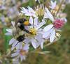 {Animal Behavior} 00aFavorite Bee on flowers, Craggy Gardens, Blue Ridge Parkway
