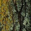 """6Aug07  lichen on bark.  <a href=""""http://carpelumen.smugmug.com/gallery/1730100/1/86345918/Medium"""">one year ago.</a>  f/5.6, 1/320s, iso 200."""