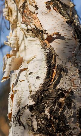 Paper Birch