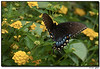"3Sep07  bush swallowtail butterfly.  <a href=""http://carpelumen.smugmug.com/gallery/1832069/1/92753156/Medium"">one year ago.</a>  f/8, 1/320s, iso 400."