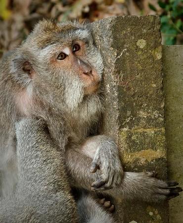 somber monkey.