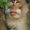 wild monkey.