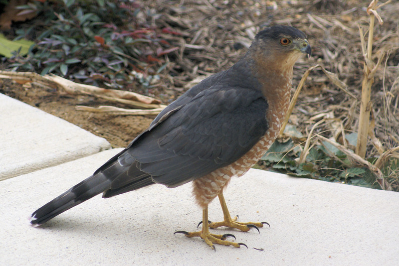 Cooper's Hawk, Maryland