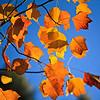 Glowing in sunset (Листья в закатных лучах)