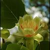 "(25Apr08)  from yesterday, tulip poplar tree in bloom.  a shot of the tree <a href=""http://carpelumen.smugmug.com/gallery/4316168_LkZkE/1/285085436_2qtTm/Medium"">full profile</a> as a daily alternate, and in <a href=""http://carpelumen.smugmug.com/gallery/3762079_ptSNj/2/219195136_hYeQR/Medium"">autumn colors</a> last fall.  <a href=""http://carpelumen.smugmug.com/gallery/2656681_gydFs/1/147193711_KPicp/Medium"">one year ago.</a>  f/8, 1/500s, iso 200."