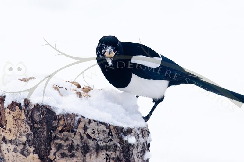 Mr. Magpie