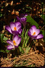 "<a href=""http://carpelumen.smugmug.com/gallery/4440280_LzGWs/1/261401809_ksY8t/Medium"">2Mar08</a>  more proof of spring."
