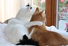 September 11, 2008 Our cats, Jake and Joey.  They are brothers - 11 years old.  We got them from a shelter when they were just a few weeks old.  They are great buddies and most mornings look out our front window like this.  I used to shoot a lot of pictures of them (before grandkids) but not much lately.  I like this one - it represents how close they are.