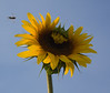 September 21, 2008 I had driven by this group of giant sunflowers so many times but never stopped or never had my camera.  I went there yesterday and found that most of them were drooped over or otherwise in bad shape.  This one was two feet above my head. It's not the pristine specimen I was hoping for but I got the bee coming in as a bonus.  And this was a one shot deal. I saw the bee in  the viewfinder just as I was about to squeeze the shutter button.