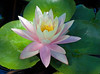September 1, 2008 Waterlily in our pond.