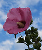 September 5, 2008 Hollyhock on my morning walk. Will be away for 4 days with no computer.