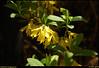 """(21Mar08)  jasmine again.  <a href=""""http://carpelumen.smugmug.com/gallery/2530267_2Xcsn/1/137747611_4En5K/Medium"""">one year ago.</a>  f/8, 1/320s, iso 200."""