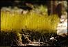 """23Mar08  new spring growth.  <a href=""""http://carpelumen.smugmug.com/gallery/2530267_2Xcsn/1/138136081_ZjkSf/Medium"""">one year ago.</a>  f/11, 1/125s, iso 200."""