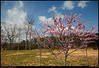 24Mar08<br /> <br /> redbud tree in bloom.  there's a deep freeze warning for tonight, so I'm not sure how many blooms on the trees currently flowering will survive.<br /> <br /> f/5.6, 1/2000s, iso 200.