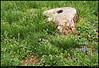 "17Mar08  dogwood stump and wild violets.  <a href=""http://carpelumen.smugmug.com/gallery/2530267_2Xcsn/1/136656841_hihxF/Medium"">one year ago.</a>  f/6.3, 1/40s, iso 200."