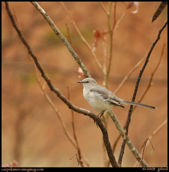 "(30Nov08)  mockingbird.  <a href=""http://carpelumen.smugmug.com/gallery/3762079_ptSNj/1/229176162_HXEoz/Medium"">one year ago.</a>  f/5.6, 1/250s, iso 640."