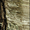 27Nov08<br /> <br /> distinguished bark.<br /> <br /> f/11, 1/500s, iso 400.
