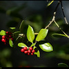 "(22Nov08)  seasonal holly berries.  <a href=""http://carpelumen.smugmug.com/gallery/3762079_ptSNj/1/224446296_7H6zh/Medium"">one year ago.</a>  f/5.6, 1/400s, iso 200."