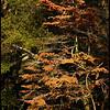 """(21Oct08)  blushing dogwood.  <a href=""""http://carpelumen.smugmug.com/gallery/3610159_bUNyu/2/211144028_zkYqZ/Medium"""">one year ago.</a>  f/8, 1/250s, iso 200."""