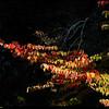 "19Oct08  dogwood in the spotlight.  <a href=""http://carpelumen.smugmug.com/gallery/3610159_bUNyu/2/210345170_oB4Pk/Medium"">one year ago,</a> one of last year's top twelve.  f/8, 1/250s, iso 400."
