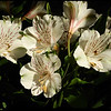 """18Oct08  alstroemeria...27 blooms this year.  <a href=""""http://carpelumen.smugmug.com/gallery/3610159_bUNyu/2/211052468_bFJCH/Medium"""">one year ago.</a>  f/13, 1/160s, iso 200."""