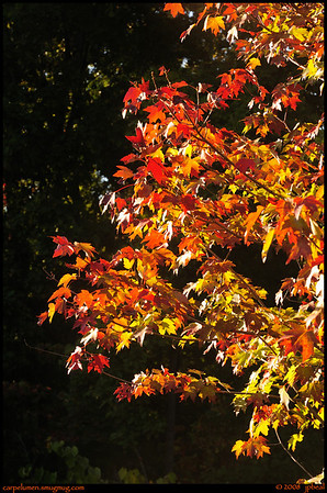 (4Oct08)  backlit maple.  one year ago.  f/8, 1/125s, iso 200.