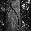 """(22Sep08)  serpentine vine.  <a href=""""http://carpelumen.smugmug.com/gallery/3406632_R6yKT/2/199736971_QjTJb/Medium"""">one year ago.</a>  f/4.5, 1/30s, iso 800."""