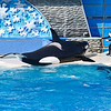 August 10, 2009<br /> Orca Encounter<br /> <br /> Sea World, San Diego, CA