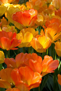 Tulips and Spring (Тюльпаны весной)  http://en.wikipedia.org/wiki/Tulip