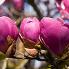 Tulip Tree Blossom (Цветы тюльпанного дерева - разновидность магнолии)