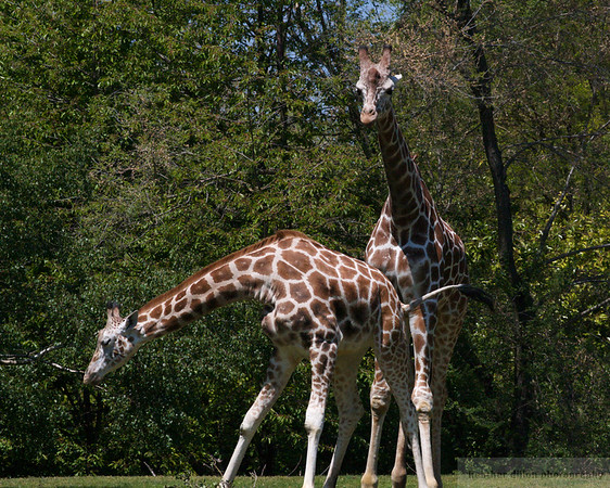 The Giraffes were not exactly PG-13 this time.