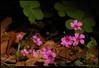 """26Apr09  shamrock blooms.  <a href=""""http://carpelumen.smugmug.com/gallery/4634983_Fd547/2/285527370_6XQMi/Medium"""">one year ago.</a>  f/11, 1/200s, iso 200."""