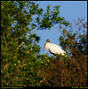 """4Apr09  framed wood stork.  the few times that i've seen wood storks, they were either overhead in flight or well hidden.  this was about the only clear shot i could get of this one.  <a href=""""http://carpelumen.smugmug.com/gallery/4634983_Fd547/2/274864005_S3nnY/Medium"""">one year ago.</a>  f/8, 1/800s, iso 200."""