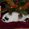 """December 29 2009 A long winter's nap<br /> <br /> I hadn't caught one of Jake under the Christmas tree and it won't be up very much longer. I would have liked to have his eyes open but didn't want to wake him.<br /> It's 8 degrees (Fahrenheit) this morning.  We did see the sun yesterday and even had a blue sky, for about 30 minutes. This was my other choice for today<br /> <a href=""""http://arthill.smugmug.com/Photography/December-2009/10522001_3Wvqw/1/#752236409_8WjYi-A-LB"""">http://arthill.smugmug.com/Photography/December-2009/10522001_3Wvqw/1/#752236409_8WjYi-A-LB</a> but I figured I can only post so many yard pictures shot through the window. :-)"""